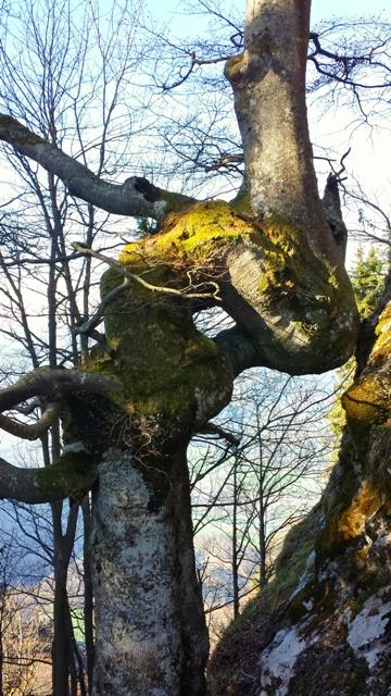 Baum beim Aufstieg zum Heubergt