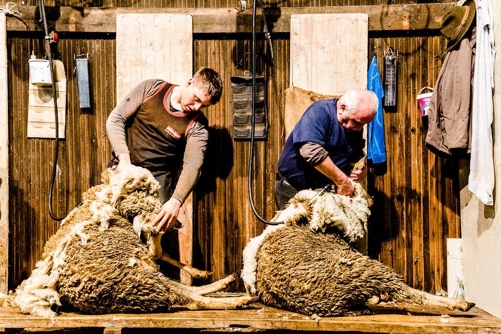 Wo kommt die Wolle her - zu Gast bei einer Schafschur mit Kaipara