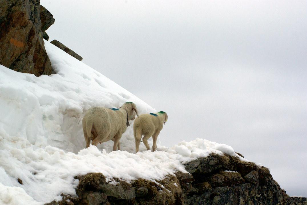Schnalstal Schafauftrieb Ötztal Similaun (8)