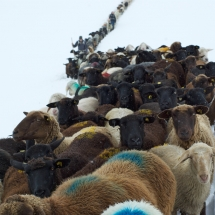 Schnalstal Schafauftrieb Ötztal Similaun (5)