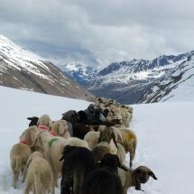 Schnalstal Schafauftrieb Ötztal Similaun (4)