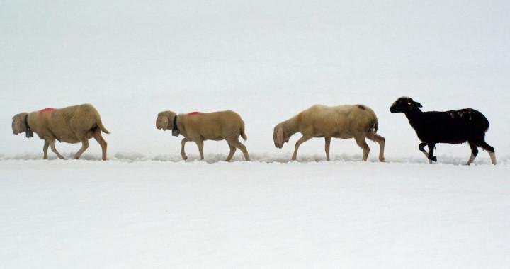 Schnalstal Schafauftrieb Ötztal Similaun (6)