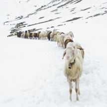 Schnalstal Schafauftrieb Ötztal Similaun (3)
