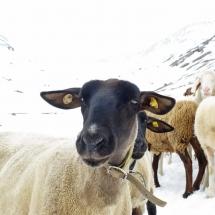 Schnalstal Schafauftrieb Ötztal Similaun (2)