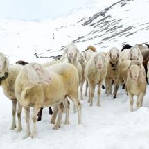 Schnalstal Schafauftrieb Ötztal Similaun (1)