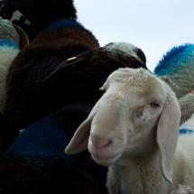 Schnalstal Schafauftrieb Ötztal Similaun (7)